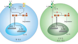 IBS, 한미 공동 연구로 선천성 림프세포 생존 비결 규명