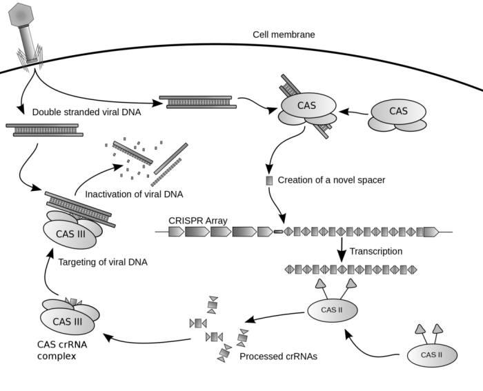 그림 3. 본래 바이러스로부터 자신을 지키기 위한 박테리아의 전략 중 하나인 크리스퍼 시스템은 이전에 침입했던 바이러스의 DNA 일부를 자신의 유전체에 저장했다가 동일한 바이러스가 침입할 때 해당 DNA만을 찾아 자르는 것이다. 출처: Wikimedia