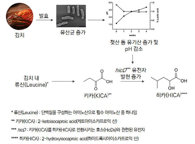 김치 내 기능성 물질 HICA 생성 메커니즘