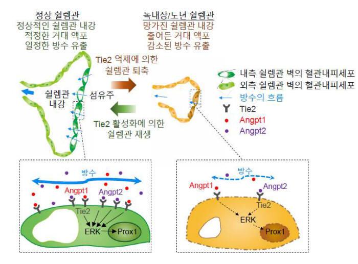 그림2. ANG-TIE2 신호전달체계의 역할