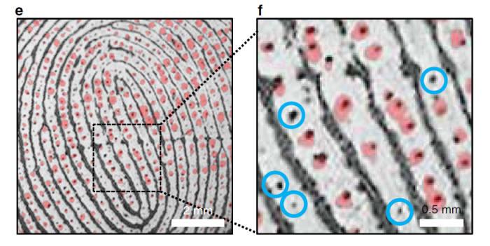 사진2. 지문의 마루와 마루 사이에는 수 많은 땀구멍들이 있다. 사람마다 고유한 땀구멍 패턴을 가지고 있어, 이를 추출할 수 있다면 또 다른 개인 식별 인자로 사용할 수 있다. 출처: 한양대