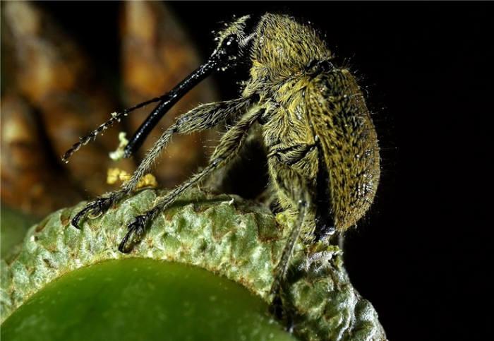 도토리거위벌레. [자료:국립생태원]
