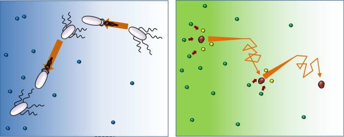 박테리아의 움직임(왼쪽)과 효소의 움직임(오른쪽)