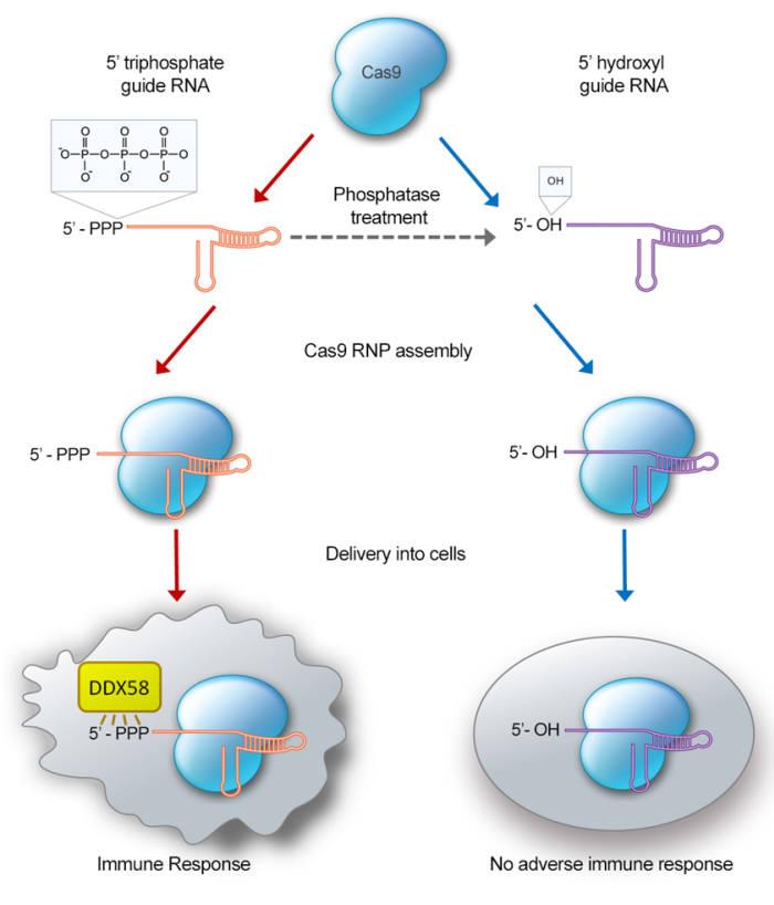 gRNA 말단 인산 그룹 유무에 따른 면역반응 비교