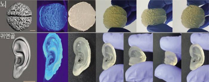 실크피브리온 바이오잉크로 제작한 인공 뇌와 귀연골