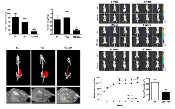 아세칠화한 산화환원조절단백-1이 세포사멸을 촉발해 삼중음성 유방암 성장을 저해한 결과를 컴퓨터 단층 촬영과 발광 실험동물의 이미지. 사진출처=충남대학교