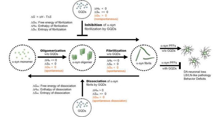 그래핀양자점(GQD)를 이용하여 섬유화 반응을 억제하거나 되돌리는 열역학적 메커니즘