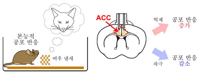 전측대상회 피질 영역의 활성 조절에 따른 공포 반응 증폭 및 감소