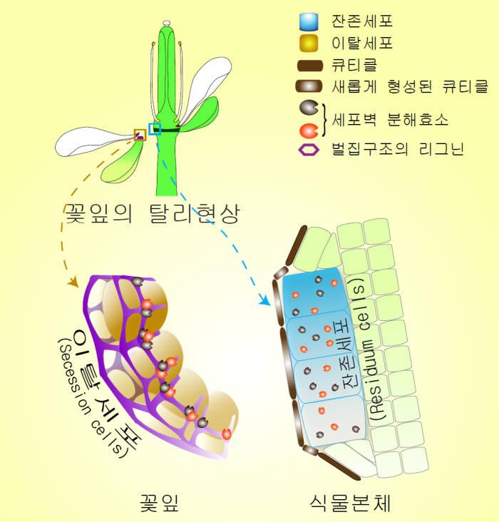 곽준명 교수는 꽃잎이 떨어지는 탈리현상에 관한 세포 수준에서의 메커니즘을 규명했다.