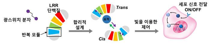 LRR 단백질 기반 광스위치 단백질 개발 및 이를 이용한 세포 신호전달 조절 개요