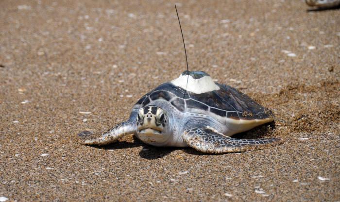 위성추적기를 부착한 바다거북