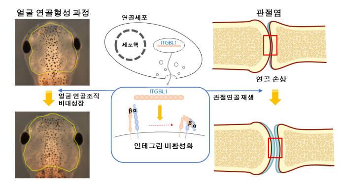 박태주 교수팀 연구 이미지. ITGBL1 유전자를 많이 발현시키면 인테그린 신호를 억제해 올챙이 얼굴뼈가 커지고 관절 연골도 재생된다.