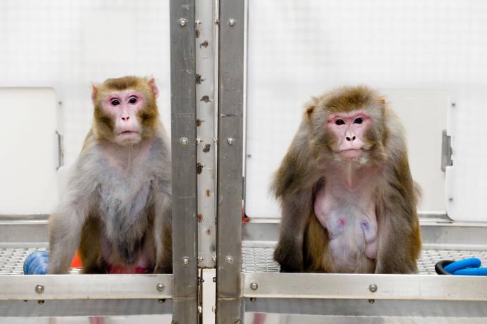 2009년 미국 위스콘신대학교 매디슨 국립영장류연구소 연구팀의 붉은털원숭이 실험. 왼쪽은 칼로리 섭취를 30% 줄인 원숭이, 오른쪽은 원하는 만큼 먹이를 먹은 원숭이다. 칼로리 섭취를 줄인 원숭이가 더 건강하게 오래 사는 것으로 나타났다. (출처 : JEFF MILLER)