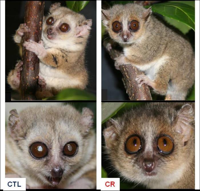 올해 4월 프랑스 연구팀이 9살 된 회색쥐여우원숭이를 대상으로 한 칼로리 제한 실험 결과. 왼쪽은 정상적인 식사를 한 원숭이, 오른쪽은 칼로리 섭취를 30% 줄인 원숭이. 오른쪽 원숭이가 더 어린 외양을 가지고 있다. (출처 : CNRS/MNHN)