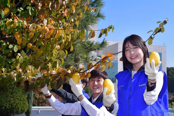 삼성SDI 임직원들이 기흥 본사에서 자란 모과나무 열매를 수확하고 있다. (사진=삼성SDI)