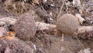 국립산림과학원, 버섯 '복령'에서 새로운 항암물질 발견