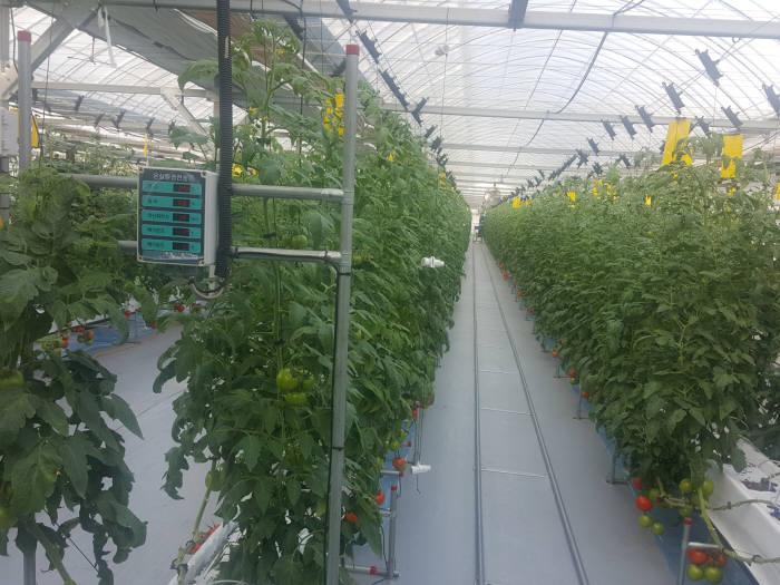 2세대 기술이 적용된 토마토 스마트팜.
