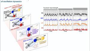 KAIST, 뇌파 생성 변조 담당하는 신경회로 원리 규명