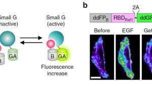 IBS, 세포 신호 스위치 단백질 실시간 관찰 센서 개발