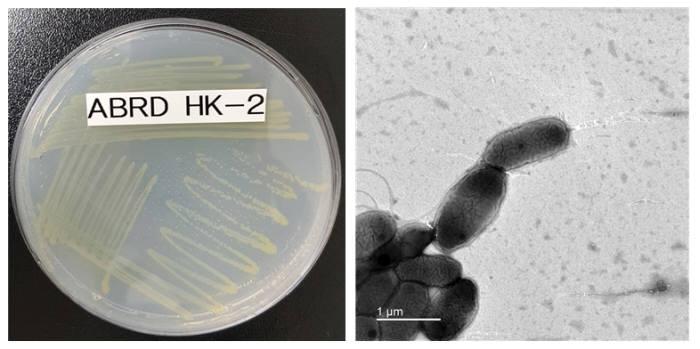 프탈레이트 분해활성이 우수한 미생물 노보스핑고비움 플루비(ABRDHK-2) 사진. (왼쪽: 확대 전, 오른쪽: 확대 후). [자료:국립낙동강생물자원관]