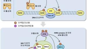 DNA 복구 조절 촉진 단백질 작용 규명