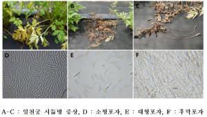 국립산림과학원, 산림약용자원 '천궁' 시듦병 원인균 규명