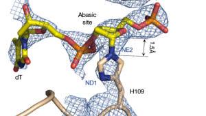 생명연, 돌연변이 DNA 복구하는 단백질 기능 규명