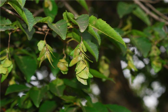개서어나무. [자료:환경부]