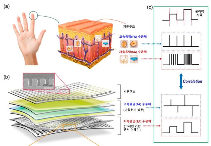 인간 피부 내감각 수용체(a)와 인공피부(b) 각각에서 발생하는 전기 신호 분석(c) 개념도.