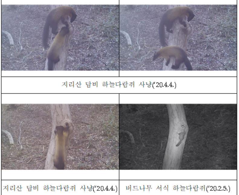 멸종위기 담비의 하늘다람쥐 사냥 장면 '포착'
