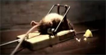 [이슈인채널]쥐덫에 걸린 쥐의 충격반전