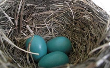 오늘날 발견되는 새 가운데에서는 울새가 청록색 알을 낳는다. 사진=위키피디아