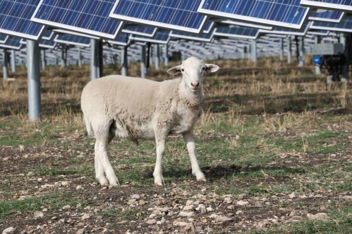 OCI 태양광 발전소에 양 방목한 까닭은