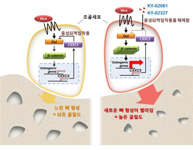 CXXC5는 Wnt 신호전달계에 대한 음성되먹임작용을 통해 조골세포의 분화를 막음으로써 새로운 뼈 형성의 속도롤 늦춘다(왼쪽). 본 연구진이 금번 연구로 발굴한 새로운 화합물들(KY-02061, KY-02327)은 이러한 음성되먹임작용을 해제함으로써 조골세포 내 Wnt 신호전달계를 활성화하고 이를 통해 조골세포의 분화 촉진 및 새로운 뼈 형성의 속도를 증가시킨다(오른쪽). 새로운 뼈 형성의 속도 증가는 골밀도를 높이는 결과로 이어져 골다공증 등 골밀도의 저하로 나타나는 질환들을 치료하는 효과를 보이게 된다(오른쪽).