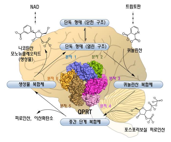 인간 QPRT 6량체에 의한 조효소 NAD 생합성 경로. QPRT는 필수아미노산인 트립토판으로부터 형성된 퀴놀린산에 포스포리보스를 결합해 NAD의 생합성 전구체인 니코틴산 모노뉴클레오티드를 생성하는 반응을 매개한다.