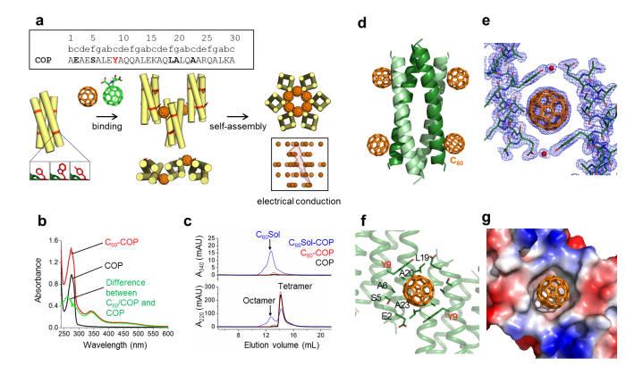 COP/C60 어셈블리의 결정 구조. (a) 코일드-코일 단백질을 이용하여 자기조립 단백질 조립체에 플러렌을 배열하는 모식도. (b) COP 용액에 프리미티브 플러렌이 잘 가용화 되었다는 것을 보여주는 UV spectra 측정 결과. (c) 크기배제 크로마토그래피상에서 COP-플러렌이 같이 용출되는 결과를 보여줌. 이는 단백질이 플러렌에 의해 4분자체에서 8분자체로 올리고머 상태가 변화됐음을 증명함. (d) COP-플러렌 복합체의 3차원 구조. (e) COP-플러렌 결정구조의 전자밀도 (f) 플러렌 결합 부위에서 플러렌과 상호작용하는 아미노산의 모식도. (g) 플러렌 결합 부위 표면의 정전기 전위도.