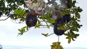 태평양 피지서 `농부 개미` 발견