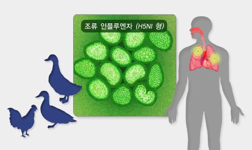 조류독감은 사람과 가금류가 모두 감염될 수 있는 인수 공통 전염병이다.(출처:질병관리본부)