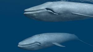 """평균 몸길이 줄어드는 고래, """"멸종의 단서 된다"""""""