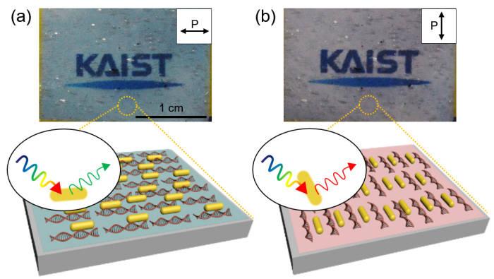 대면적 배향된 금 나노막대-DNA 박막의 현미경 이미지 및 모식도