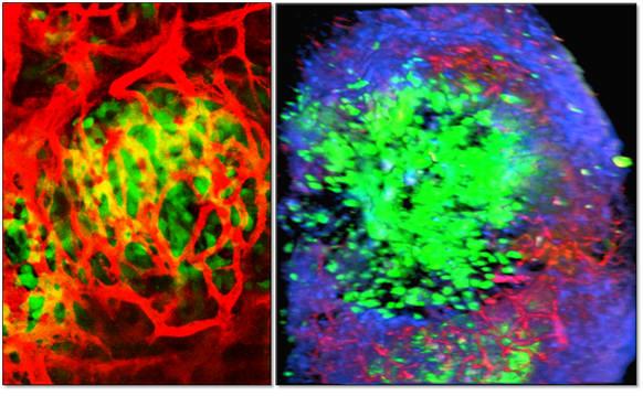 IVM으로 촬영한 세포단위의 3차원 영상