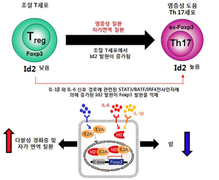 Id2 발현 증가로 인한 조절 T세포의 형질 전환 모식도