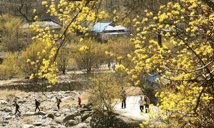 구례산수유꽃축제. (사진=한국관광공사 제공)