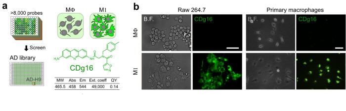 CDg16 구조와 활성화대식세포가 CDg16에 염색되는 모습