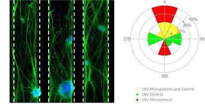전도성 하이드로젤 미세패턴에서 전기자극에 의한 신경 줄기세포의 분화 모습(왼쪽), 미세패턴에서 전기자극에 의하여 분화된 신경세포의 방향성을 분석한 결과(오른쪽). (출처: 서강대학교 기계공학과)
