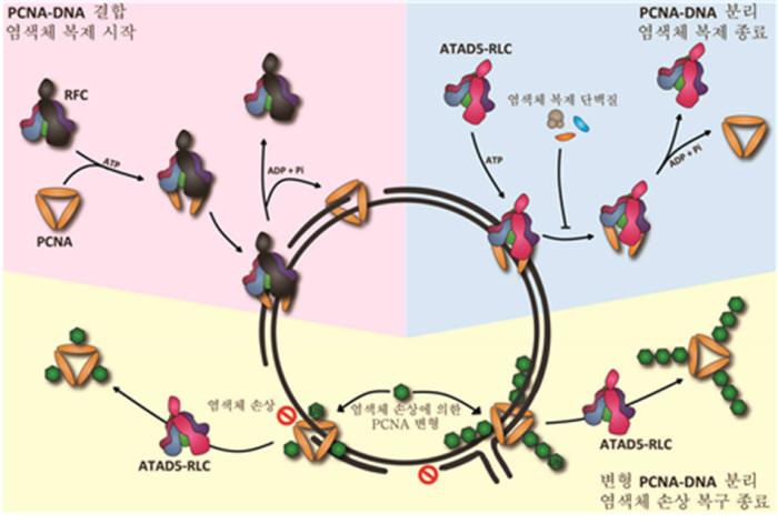 증식성세포핵항원(PCNA)과 DNA의 결합 및 분리 메커니즘