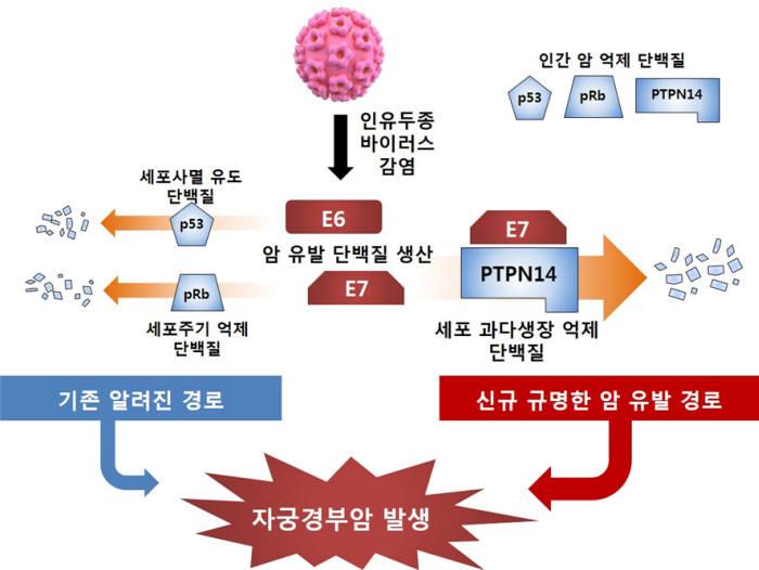 바이러스에 의한 자궁경부암 발병 흐름