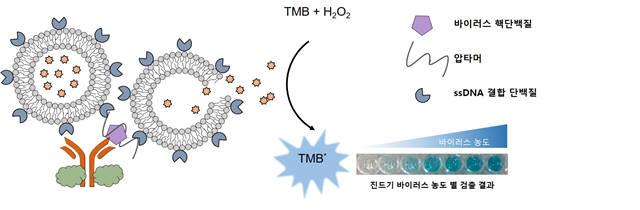GIST 연구팀이 새로 개발한 압타머와 리포좀을 이용해 바이러스 핵단백질을 검출한 모식도 및 결과.