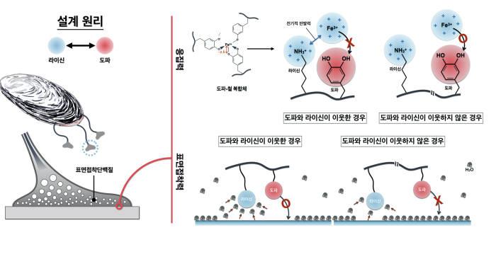 차형준 포스텍 교수팀과 김낙균 KIST 박사팀이 홍합이 분비하는 접착 단백질을 분석, 수중에서 강력한 접착력을 갖는 두분자(도파와 라이신)의 시너지 효과를 확인했다. 사진은 연구 이미지.