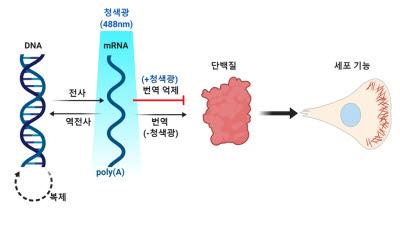 IBS, RNA 리보솜 결합·분리 제어하는 광유전학 기술 개발